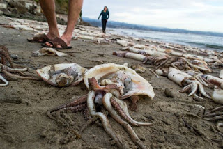 Εκατοντάδες νεκρά γιγάντια καλαμάρια ξεβράστηκαν στην παραλία Capitola - e-Nautilia.gr | Το Ελληνικό Portal για την Ναυτιλία. Τελευταία νέα, άρθρα, Οπτικοακουστικό Υλικό