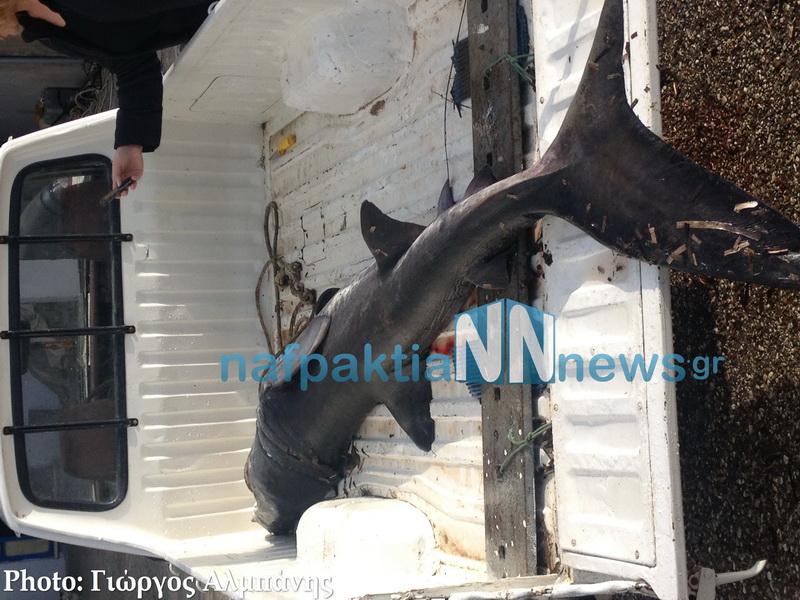 Ναυπακτία: Ψάρεψαν καρχαριοειδές μήκους δύο μέτρων - e-Nautilia.gr | Το Ελληνικό Portal για την Ναυτιλία. Τελευταία νέα, άρθρα, Οπτικοακουστικό Υλικό