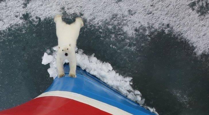 Πλέον τα καράβια και ο άνθρωπος ειναι παντού. Δείτε αρκούδα που προσπαθεί να εμποδίσει το πλοίο να εισέλθει στο σπίτι της. - e-Nautilia.gr | Το Ελληνικό Portal για την Ναυτιλία. Τελευταία νέα, άρθρα, Οπτικοακουστικό Υλικό