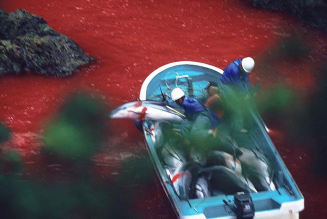 dolphin_slaughter_taiji_japan_the_cove_brooke_mcdonald_211
