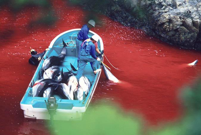 dolphin_slaughter_taiji_japan_the_cove_brooke_mcdonald_22