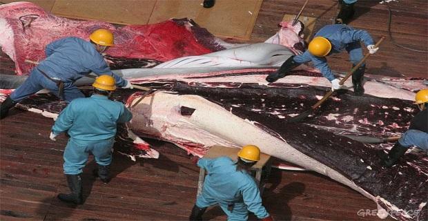 Ο «άγνωστος πόλεμος» για την προστασία της φάλαινας - e-Nautilia.gr | Το Ελληνικό Portal για την Ναυτιλία. Τελευταία νέα, άρθρα, Οπτικοακουστικό Υλικό