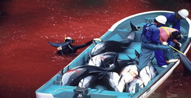 Σφαγή εκατοντάδων δελφινιών στο Ταϊτζί της Ιαπωνίας [video+pics] - e-Nautilia.gr | Το Ελληνικό Portal για την Ναυτιλία. Τελευταία νέα, άρθρα, Οπτικοακουστικό Υλικό