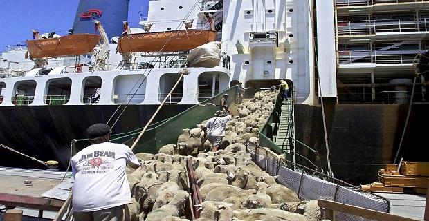 URUGUAY-SHEEP-EXPORTATION