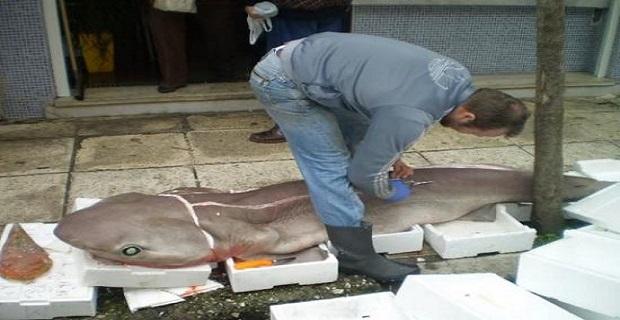 Τεράστιος γαλέος 90 κιλών ψαρεύτηκε στην Κεφαλονιά - e-Nautilia.gr | Το Ελληνικό Portal για την Ναυτιλία. Τελευταία νέα, άρθρα, Οπτικοακουστικό Υλικό