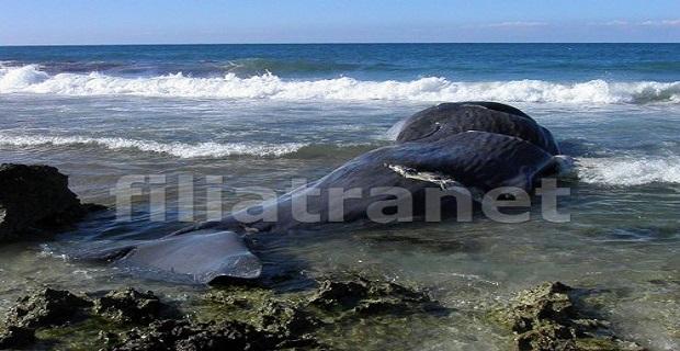 Νεκρή φάλαινα 10 μέτρων ξεβράστηκε στα Φιλιατρά[vid] - e-Nautilia.gr | Το Ελληνικό Portal για την Ναυτιλία. Τελευταία νέα, άρθρα, Οπτικοακουστικό Υλικό