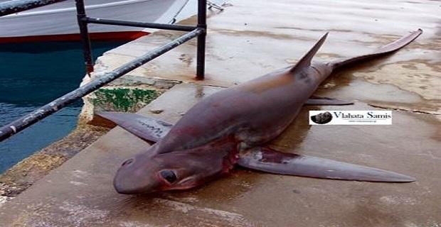 Καρχαριοειδές 4 μέτρων ψαρεύτηκε στη Σάμη Κεφαλονιάς[pics+vid] - e-Nautilia.gr | Το Ελληνικό Portal για την Ναυτιλία. Τελευταία νέα, άρθρα, Οπτικοακουστικό Υλικό