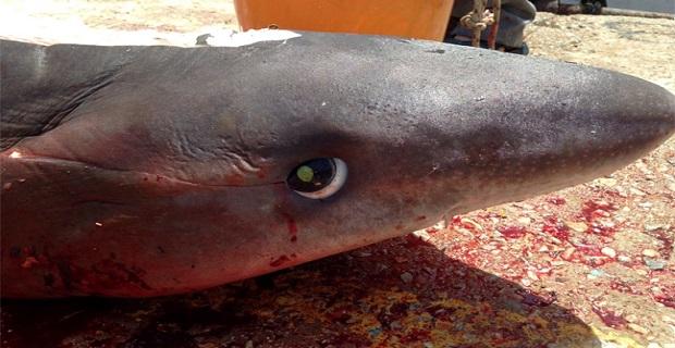 Στην Τήνο πιάστηκε καρχαρίας! [pics] - e-Nautilia.gr | Το Ελληνικό Portal για την Ναυτιλία. Τελευταία νέα, άρθρα, Οπτικοακουστικό Υλικό