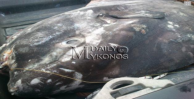 Φεγγαρόψαρο 250 κιλών πιάστηκε από Μυκονιάτη ψαρά - e-Nautilia.gr | Το Ελληνικό Portal για την Ναυτιλία. Τελευταία νέα, άρθρα, Οπτικοακουστικό Υλικό