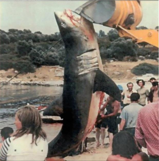 Τεράστιος λευκός καρχαρίας που αλιεύθηκε το 1985 στο Παλιούρι Χαλκιδικής.