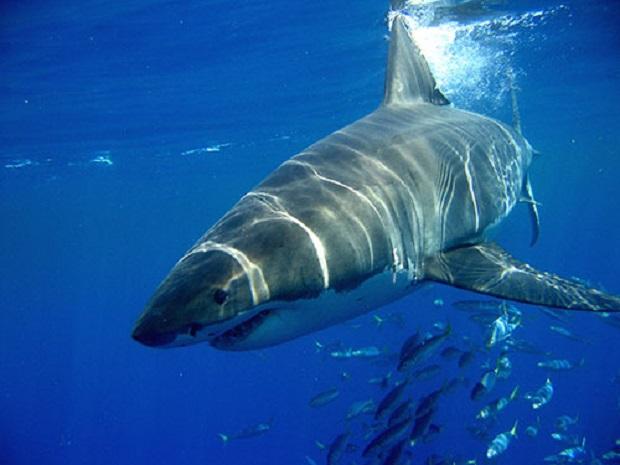 Ο μεγάλος λευκός καρχαρίας στην Ελλάδα και οι επιθέσεις του (Photos) - e-Nautilia.gr | Το Ελληνικό Portal για την Ναυτιλία. Τελευταία νέα, άρθρα, Οπτικοακουστικό Υλικό