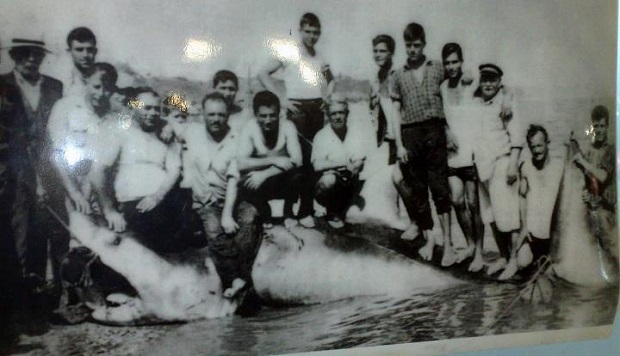 Λευκός καρχαρίας μήκους 5 μέτρων που αλιεύθηκε στην Κ.Αχαία τον Ιούνιο του 1962.