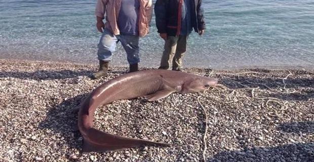Δροσίτη 120 κιλών έπιασε ψαράς στον Τυρό σήμερα το πρωί - e-Nautilia.gr | Το Ελληνικό Portal για την Ναυτιλία. Τελευταία νέα, άρθρα, Οπτικοακουστικό Υλικό