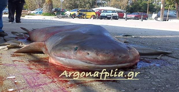 Σκυλόψαρο 2,5 μέτρων πιάστηκε στα δίχτυα ψαρά στη Νέα Κίο[pics] - e-Nautilia.gr | Το Ελληνικό Portal για την Ναυτιλία. Τελευταία νέα, άρθρα, Οπτικοακουστικό Υλικό