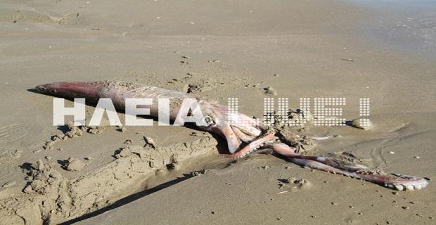 Η θάλασσα ξέβρασε «καλαμάρι – γίγας» στο Κατάκολο [pics] - e-Nautilia.gr   Το Ελληνικό Portal για την Ναυτιλία. Τελευταία νέα, άρθρα, Οπτικοακουστικό Υλικό