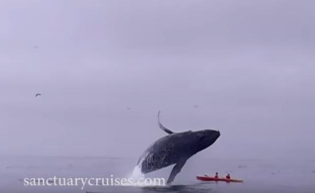 Μεγάπτερη φάλαινα πέφτει πάνω σε καγιάκ![video] - e-Nautilia.gr | Το Ελληνικό Portal για την Ναυτιλία. Τελευταία νέα, άρθρα, Οπτικοακουστικό Υλικό