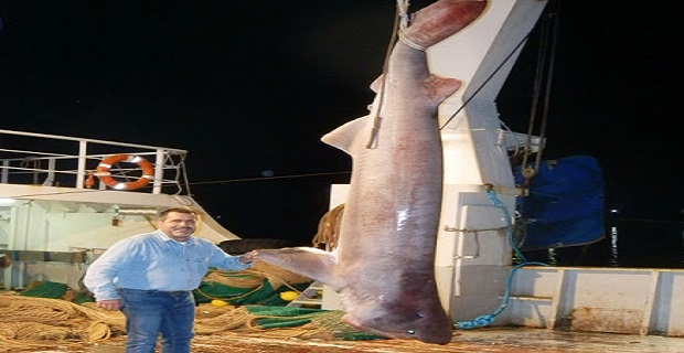 Καρχαρίας 5 μέτρων πιάστηκε έξω από τον κόλπο της Καρύστου[pics] - e-Nautilia.gr | Το Ελληνικό Portal για την Ναυτιλία. Τελευταία νέα, άρθρα, Οπτικοακουστικό Υλικό