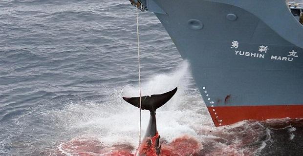 1 εκατ. πρόστιμο σε φαλαινοθηρική μετά από βίντεο ντοκουμέντο (video) - e-Nautilia.gr | Το Ελληνικό Portal για την Ναυτιλία. Τελευταία νέα, άρθρα, Οπτικοακουστικό Υλικό