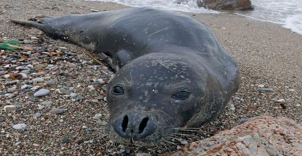 Μία αρσενική φώκια στην παραλία Αλίμου![βίντεο] - e-Nautilia.gr | Το Ελληνικό Portal για την Ναυτιλία. Τελευταία νέα, άρθρα, Οπτικοακουστικό Υλικό
