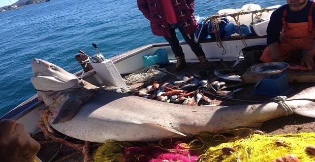 Kαρχαρίας 2,5 μέτρων αλιεύθηκε σήμερα στην Ύδρα! - e-Nautilia.gr | Το Ελληνικό Portal για την Ναυτιλία. Τελευταία νέα, άρθρα, Οπτικοακουστικό Υλικό