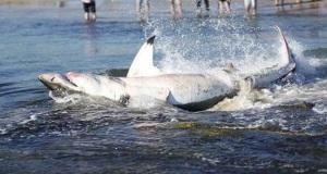 Άνοιξαν την κοιλιά νεκρού καρχαρία με μαχαίρι και έμειναν άφωνοι [βίντεο]
