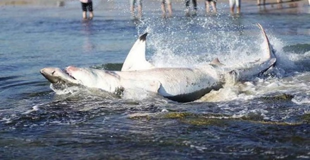 Άνοιξαν την κοιλιά νεκρού καρχαρία με μαχαίρι και έμειναν άφωνοι [βίντεο] - e-Nautilia.gr | Το Ελληνικό Portal για την Ναυτιλία. Τελευταία νέα, άρθρα, Οπτικοακουστικό Υλικό