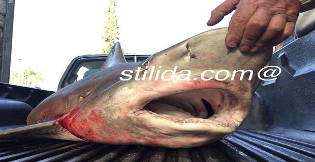 Καρχαρίας 2,5 μέτρων στα χέρια ψαρά από τη Στυλίδα[pics] - e-Nautilia.gr | Το Ελληνικό Portal για την Ναυτιλία. Τελευταία νέα, άρθρα, Οπτικοακουστικό Υλικό