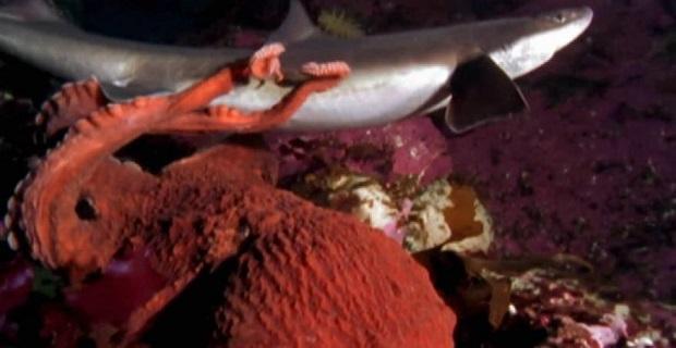 Γιγάντιο χταπόδι σκοτώνει και τρώει… καρχαρία [βίντεο] - e-Nautilia.gr   Το Ελληνικό Portal για την Ναυτιλία. Τελευταία νέα, άρθρα, Οπτικοακουστικό Υλικό