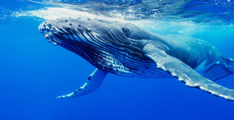 Μεγάπτερες φάλαινες επιδεικνύουν αλτρουιστική συμπεριφορά (video) - e-Nautilia.gr | Το Ελληνικό Portal για την Ναυτιλία. Τελευταία νέα, άρθρα, Οπτικοακουστικό Υλικό