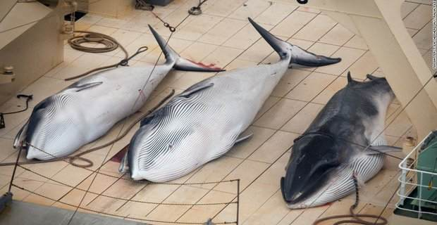 japan_whale_program