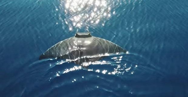Ένα σαλάχι 2.5 μέτρων λίγο έξω από τη Μύκονο! [βίντεο] - e-Nautilia.gr   Το Ελληνικό Portal για την Ναυτιλία. Τελευταία νέα, άρθρα, Οπτικοακουστικό Υλικό