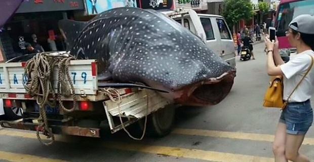 Ψαράς περιέφερε σπάνιο καρχαρία-φάλαινα σε… καρότσα![βίντεο] - e-Nautilia.gr | Το Ελληνικό Portal για την Ναυτιλία. Τελευταία νέα, άρθρα, Οπτικοακουστικό Υλικό