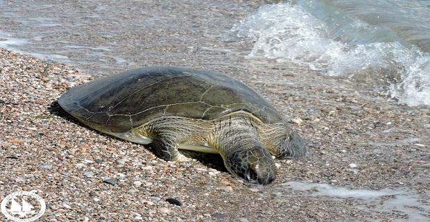 Έξαρση Θανάτων Θαλάσσιων Χελωνών στο Αιγαίο - e-Nautilia.gr | Το Ελληνικό Portal για την Ναυτιλία. Τελευταία νέα, άρθρα, Οπτικοακουστικό Υλικό