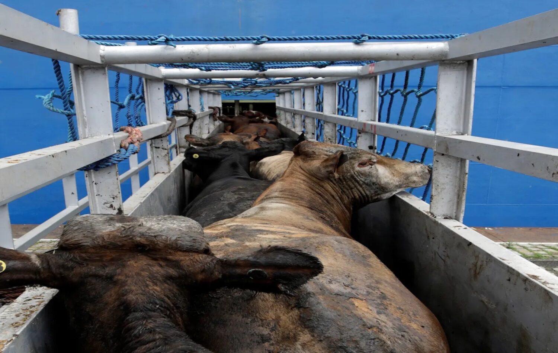 Πλοίο γεμάτο αιγοπρόβατα και βοοειδή περιπλανιέται στη Μεσόγειο - e-Nautilia.gr | Το Ελληνικό Portal για την Ναυτιλία. Τελευταία νέα, άρθρα, Οπτικοακουστικό Υλικό