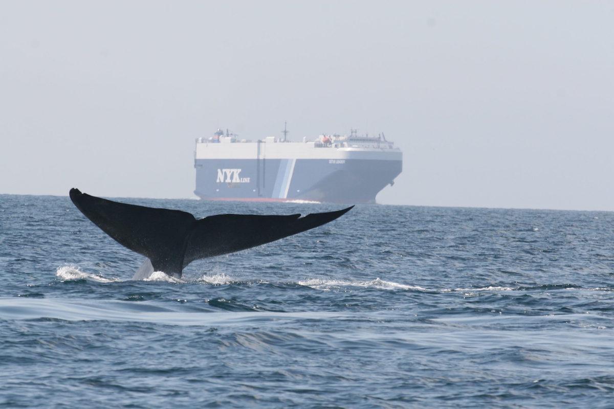Δεκαέξι μεγάλες ναυτιλιακές εταιρείες επιβραδύνουν τα φορτηγά πλοία για να προστατεύσουν τις γαλάζιες φάλαινες - e-Nautilia.gr   Το Ελληνικό Portal για την Ναυτιλία. Τελευταία νέα, άρθρα, Οπτικοακουστικό Υλικό