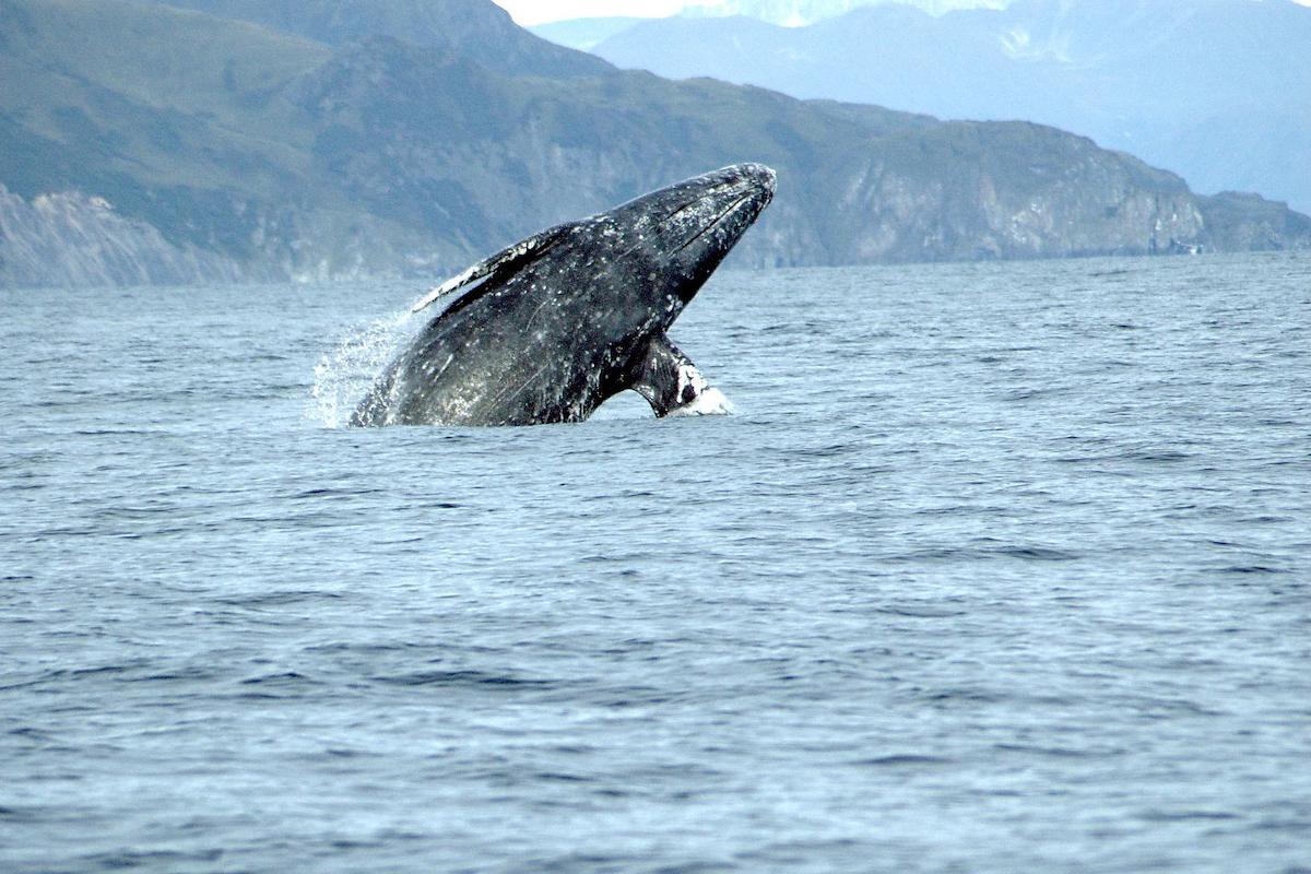 Νεαρή γκρίζα φάλαινα περιπλανιέται στη Μεσόγειο ψάχνοντας απεγνωσμένα φαγητό - e-Nautilia.gr | Το Ελληνικό Portal για την Ναυτιλία. Τελευταία νέα, άρθρα, Οπτικοακουστικό Υλικό
