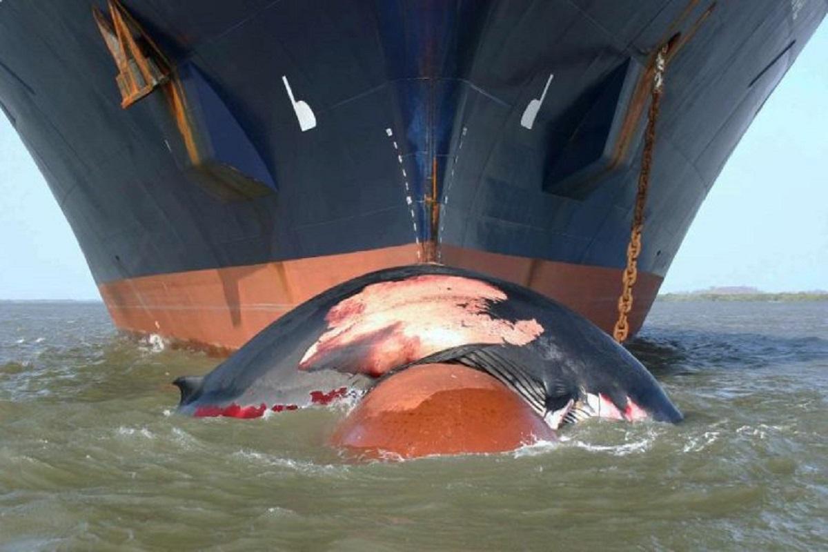 Σύγκρουση πλοίων με φάλαινες: Τα πλοία δε συμμορφώνονται με την μείωση της ταχύτητας στο Καναδά - e-Nautilia.gr | Το Ελληνικό Portal για την Ναυτιλία. Τελευταία νέα, άρθρα, Οπτικοακουστικό Υλικό