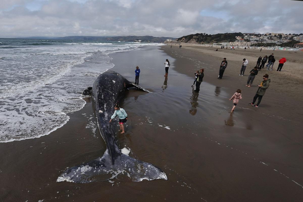 ΒΙΝΤΕΟ: Ακόμη μια νεκρή φάλαινα ξεβράστηκε σε παραλία του Σαν Φρανσίσκο - e-Nautilia.gr | Το Ελληνικό Portal για την Ναυτιλία. Τελευταία νέα, άρθρα, Οπτικοακουστικό Υλικό