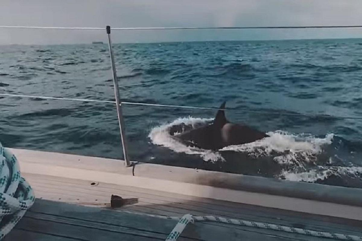Οργισμένες φάλαινες-δολοφόνοι επιτίθενται σε γιοτ για να το βουλιάξουν (video) - e-Nautilia.gr | Το Ελληνικό Portal για την Ναυτιλία. Τελευταία νέα, άρθρα, Οπτικοακουστικό Υλικό